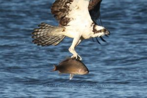 osprey-with-sea-perch